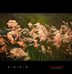Flowers in the Wind , 2010  03 ( SUNRISE@DAWN photography) Tags: pink red plant seascape flower color floral grass leaves backlight canon landscape leaf weed colorful bokeh taiwan foliage  tainan  highlight backlighting          taiwanlandscape sunrisedawn         gettyimagestaiwanq1 gettyimagestaiwanq2 gettytaiwan12q2 gettyimagestaiwan12q3 gettytaiwan12q4 gettytaiwan13q1 gettytaiwan13q2 gettytaiwan13q3 taiwanseascape gettytaiwan14q1