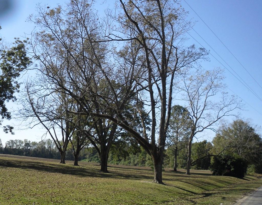 Arcola Road Pecan Grove