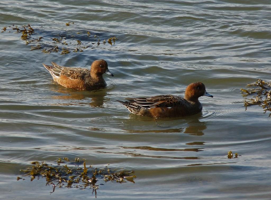 23591 - Wigeon, Axe Estuary