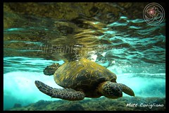 Take A Dip (yogasurf) Tags: ocean life beach water island hawaii surf waves oahu turtle ngc maui kauai honu seaturtle yogasurf