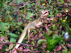 I am back ! (H G M) Tags: chameleon hgmphotos