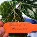 "Begonia ""Dale Kramer"""