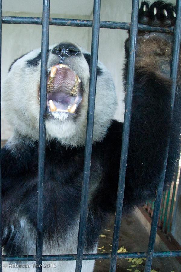 RYALE_Panda_Bears_24