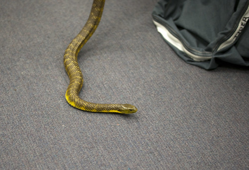Venomous Snake Handling - Tiger Snake