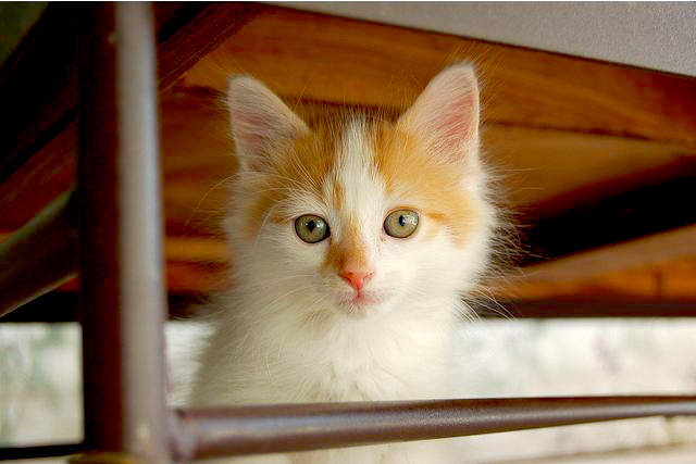cute ginger and white kitten