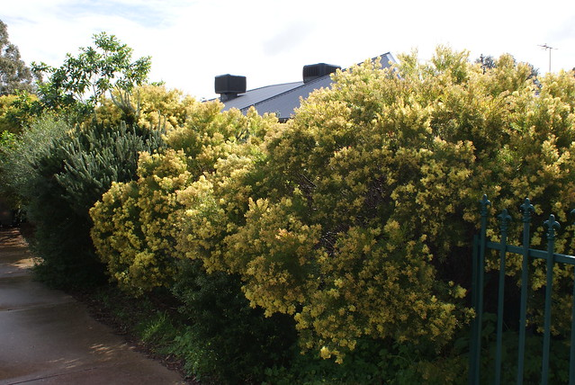 Acacia fimbriata Growing In My Driveway.