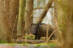 Opvetten (ikbendewereld) Tags: november autumn forest wildlife herfst nederland thenetherlands wildzwijn veluwe ochtend 2010 wildpig gelderland wildboar zwijn ermelo speulderbos
