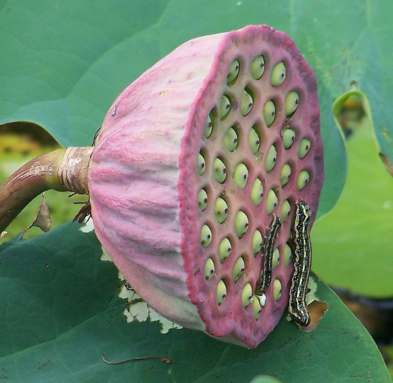 The Worlds Newest Photos Of Lotus And Trypophobia Flickr Hive Mind