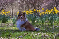"""In the Daffodils • <a style=""""font-size:0.8em;"""" href=""""http://www.flickr.com/photos/55880040@N05/5192787227/"""" target=""""_blank"""">View on Flickr</a>"""