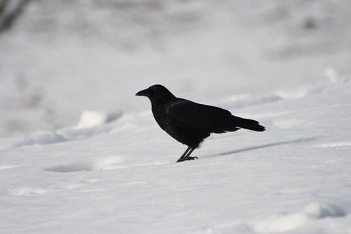 Crows of Powderhorn
