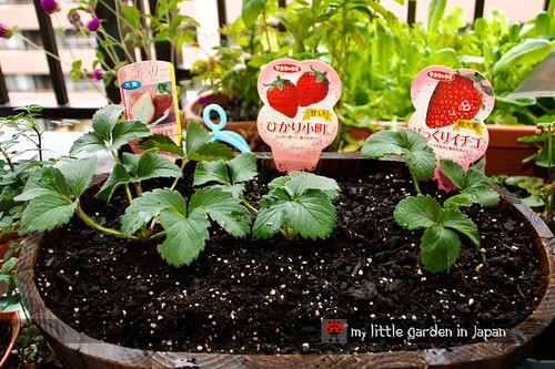 strawberries-in-my-little-garden-in-japan-1