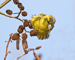 Siskin 2 ( Kays choice ) (Andrew Haynes Wildlife Images) Tags: nature feeding wildlife coventry warwickshire siskin brandonmarsh canon7d ajh2008