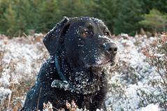 Max (Mark McKie) Tags: dog max labrador heather blacklab mansbestfriend galloway gundog gallowayforestpark nikond90 markmckie