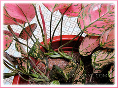 Creeping stems of Aglaonema 'Valentine', a pink/green Thai hybrid.
