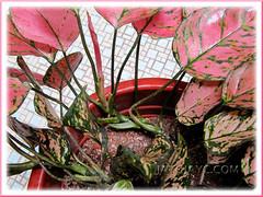 Creeping stems of Aglaonema 'Valentine', a pink/green Thai hybrid.