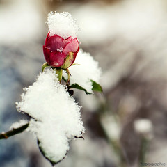 snowy rose... (hoptographie) Tags: snow weather rose seasons