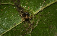 tiny orb weaver (dustaway) Tags: arthropoda arachnida araneae araneomorphae araneidae araneinae araneus orbweaver australianspiders rainforest rotarypark rprr lismore northernrivers nature nsw australia araignee spinne natur