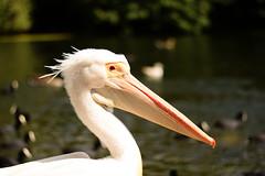 Content (dhirajkumarhazra) Tags: pelican london england uk stjamespark lake sunny birds attitude bird animal water