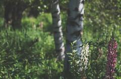 last of the lupine (taralees) Tags: july summeronrabbitridge thepond floraandfauna