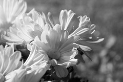 Summer beauties ... (Elisafox22 slowly catching up again!) Tags: elisafox22 sony ilca77m2 100mmf28 macro macrolens telemacro monochromebokehthursday hmbt bokeh sunshine flowers petals leaves daisies capedaisies light shadows monochrome blackandwhite monotone bw mono greyscale elisaliddell©2017