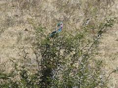P1150130 Zimbabwe (19) (archaeologist_d) Tags: zimbabwe stanleylivingstonesafarilodge lilacbreastedroller birdwatching africa southernafrica safari