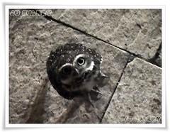 Coruja/ Owl (Ju Emery) Tags: coruja owl bsb cerrado cute fofa bird ave brasilia juemery nature natureza