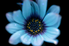 African Daisy (C. Burrows) Tags: flower african daisy uvivf