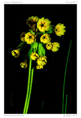 Coucou (BerColly) Tags: france auvergne puydedome fleur flower coucou jaune yellow bercolly google flickr