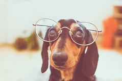 Glad I Went To Specsavers (Mrs Mooo) Tags: sausagedog glasses specs dave love cool ontrend weinerdog eyes dachshund kylieminogue puppy slinky lugs pawsome hotdog specsavers roundglasses poser trendy fashion lightroom adobe