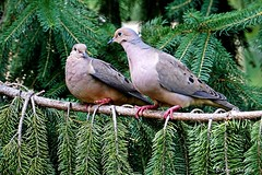 Mourning Dove Pair (Anne Ahearne) Tags: mourningdove doves dove nature wildlife spruce tree animals animal pair couple love