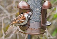 "Thief ! (jimgspokane) Tags: sparrows birds wildlife spokanewashingtonstate ""nikonflickraward"""