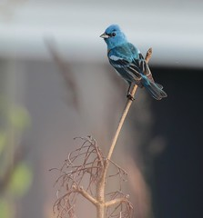 Flash of Blue (Eric_Z) Tags: lazulibunting bunting male blue coquitlam britishcolumbia canada canoneos7dmkii