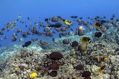 My Backyard (bodiver) Tags: hawaii ambientlight wideangle tokina1017mm reef fins fish freediving apnea ocean blue nature