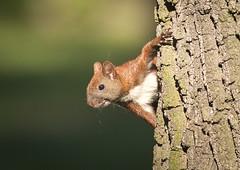 Peek-a-boo! (hedera.baltica) Tags: squirrel redsquirrel eurasianredsquirrel wiewiórka wiewiórkapospolita sciurusvulgaris