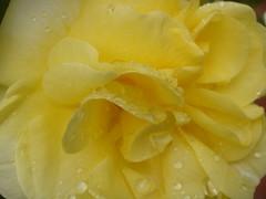 Rose Test Garden
