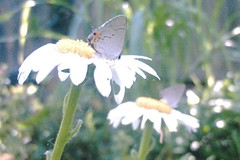 hairstreak butterfly on a daisy, foreground and background