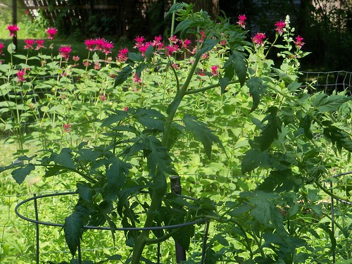 tomato and bee balm