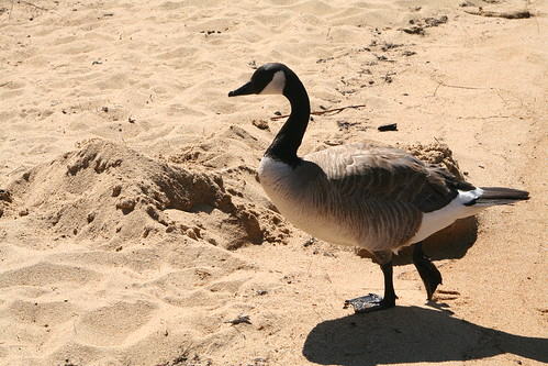 Canada Goose on the Loose