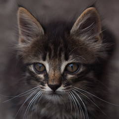 20100623-_MG_2017 (DigitalCarolina) Tags: cats photography kitten feline photographer kitty gatos felinos felino fotografia kity minino httpcarolinamendezsmugmugcom httpswwwfacebookcomcarolinamendezphotography