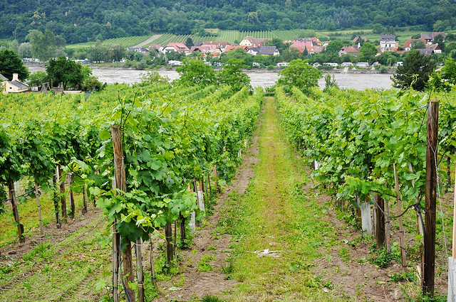 vineyards by the danube