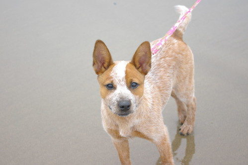 Red heeler mixed with pitbull - messe-portal info