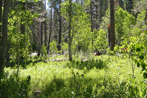 Meadow and Quaking Aspens