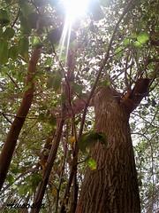 20~9 (awoosha~) Tags: tree green شجرة أشعة sunshain أوراق خضرة أشجار