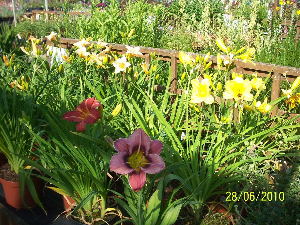 Day Lilies!
