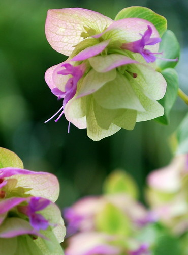 Ornamental Oregano 8
