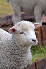 Sheep (Sebastian Rozas) Tags: chile animal sheep oveja puntaarenas southernchile chileanpatagonia magellanregion