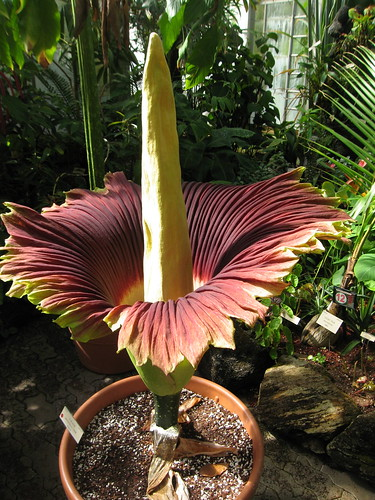 Maladora the Titan lily: A phallus in a skirt.