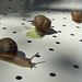 daniel snail racing