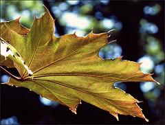 leaf (maggie224 -) Tags: leaf 128