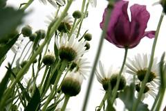 Mohn und Margeriten (sonjasfotos) Tags: flower garden natur blume garten mohn mohnblume margeriten